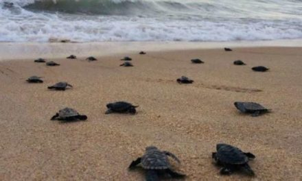 Thanks to Deserted Beaches, 100 Critically Endangered Sea Turtles Have Hatched