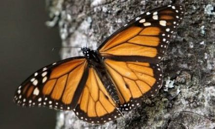 Fall Monarch Migration Lecture